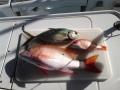 Goudmakreel - Red Snapper gevangen in de baai